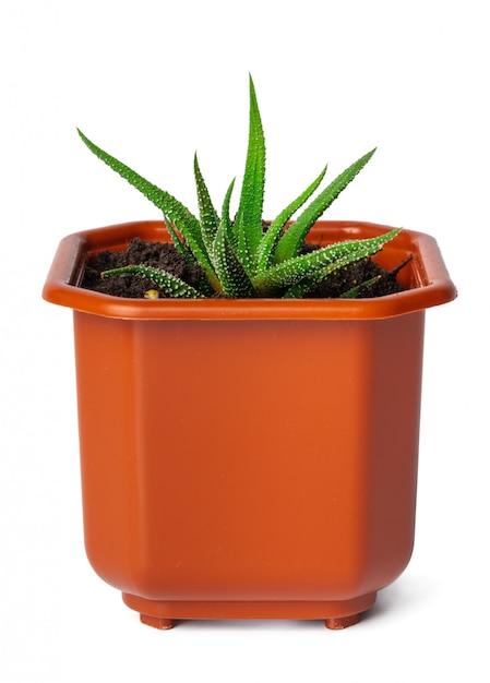 Plante succulente en pot isolée Photo Premium