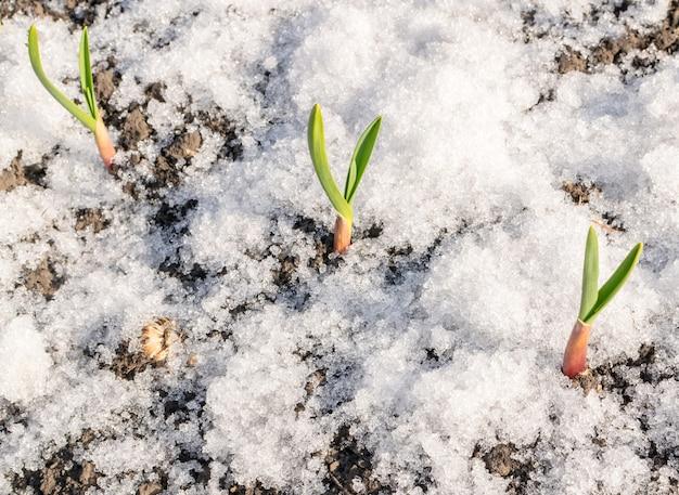 Plante Verte Poussant Dans La Neige. Pousse D'ail De Printemps Photo Premium
