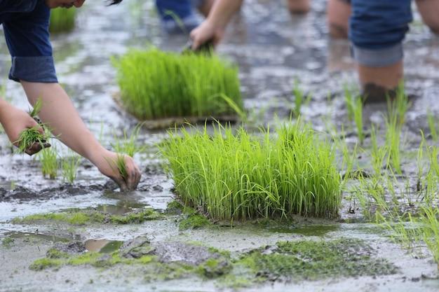 Planter dans les rizières biologiques Photo gratuit