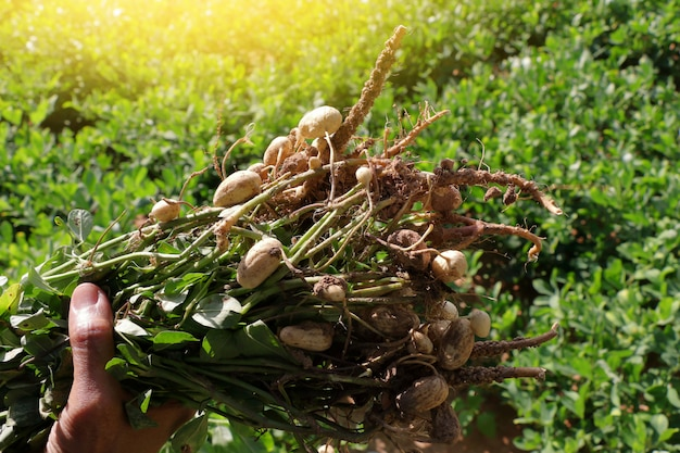 Plantes d'arachides avec des racines. Photo Premium