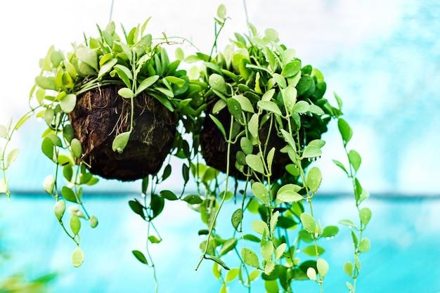 Plantes d'intérieur dans les gouttes d'eau Photo Premium