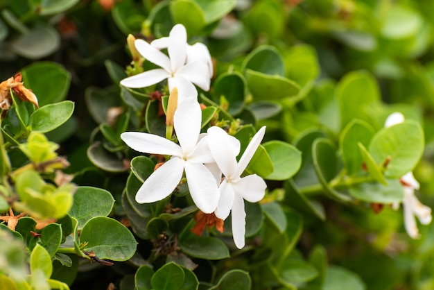 Plantes de jasmin blancs Photo Premium