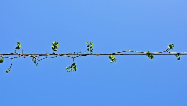 Plantes lierre Photo Premium