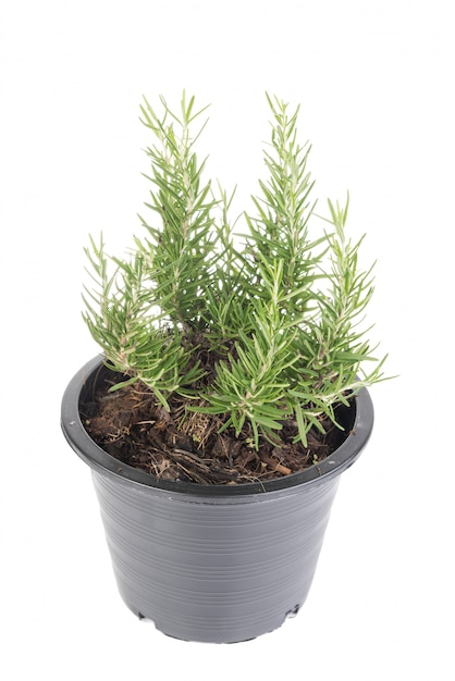 Plantes De Romarin En Pot De Fleur Noir En Plastique Isolé Sur Fond Blanc Photo Premium