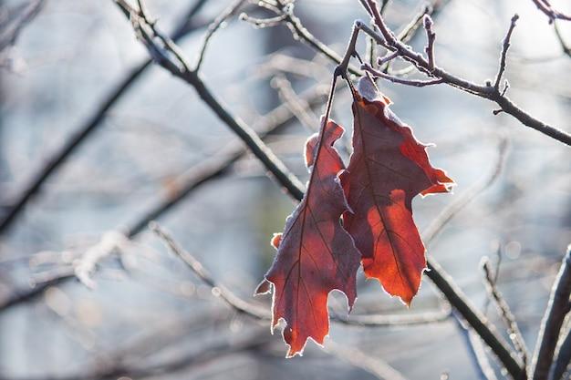 Plantez avec des feuilles brunes recouvertes de givre du matin. fin de l'automne. Photo Premium
