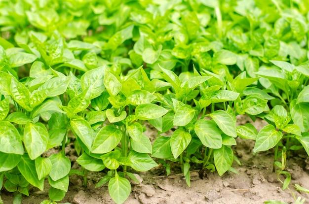 Plants de poivron vert dans la serre, prêts à être transplantés dans le champ, l'agriculture, l'agri Photo Premium