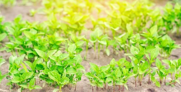 Plants de poivron vert en serre Photo Premium
