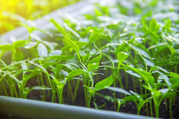 Des plants de poivrons en pots sur le rebord de la fenêtre. mise au point sélective. Photo Premium