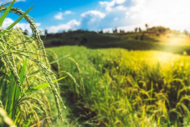 Plants De Riz Près De La Saison Des Récoltes Et Champs De Riz En Haute Montagne Photo Premium