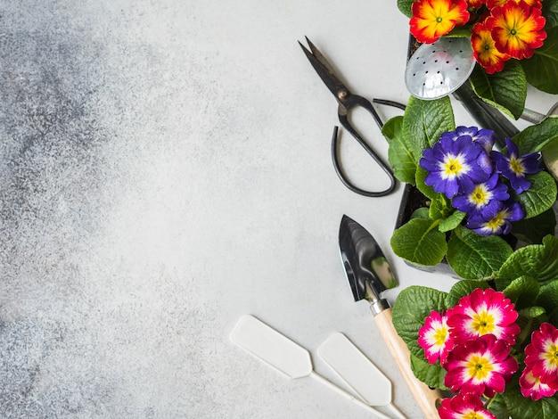 Plantules de fleurs multicolores primevères et divers outils de jardinage sur fond gris. Photo Premium