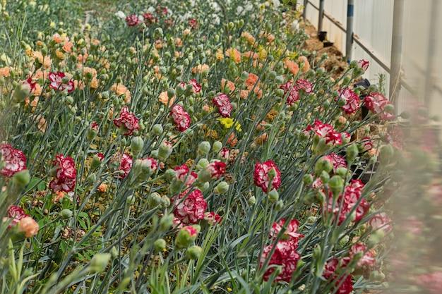 Plate-bande avec plantes à fleurs d'oeillets Photo Premium