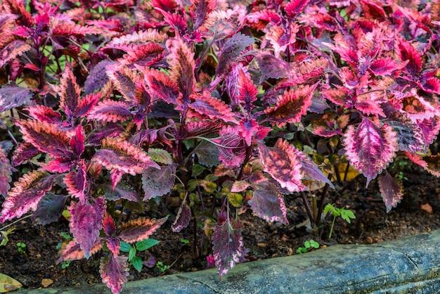 Plectranthus scutellarioides couramment Photo Premium