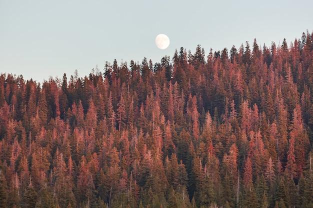 Pleine Lune S'élevant Au-dessus Des Conifères Contre Un Ciel Clair Au Coucher Du Soleil Photo Premium