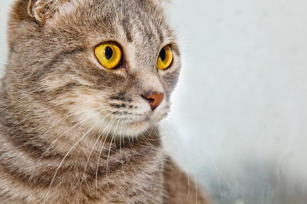 Pliez chat écossais assis sur le rebord de la fenêtre Photo Premium