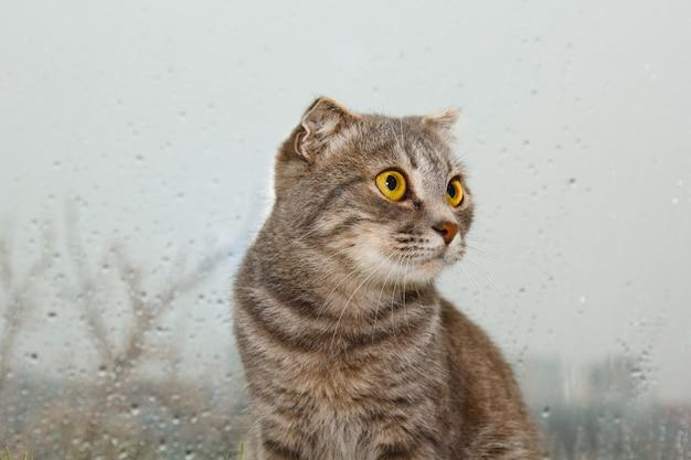 Pliez Le Chat écossais Assis Sur Le Rebord De La Fenêtre Photo Premium