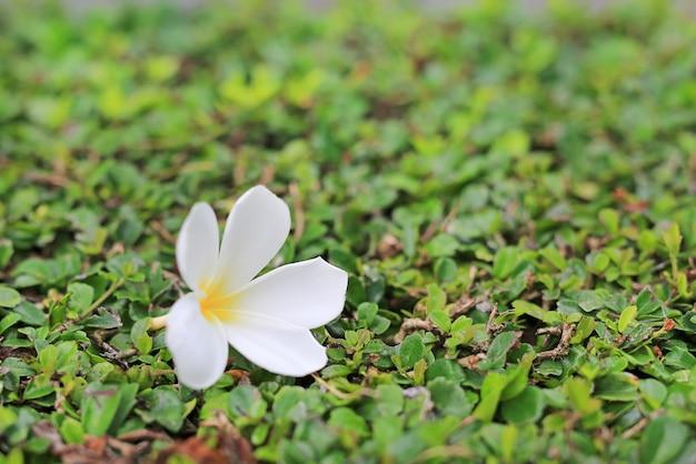 Plumeria blanc ou fleur de frangipanier placé sur l'arbre mural concept spa. Photo Premium