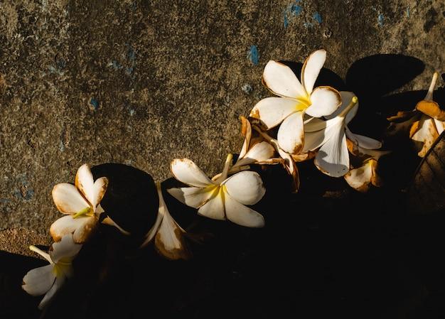 Plumeria blanc tombé Photo Premium