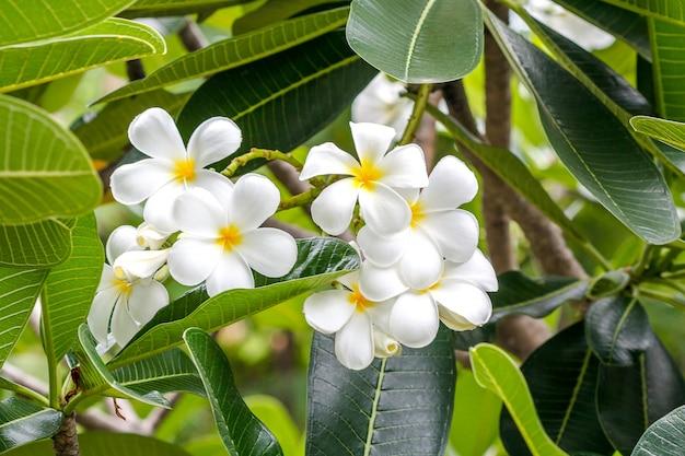Plumeria Fleur Fleur Tropicale Blanche Telecharger Des Photos Premium