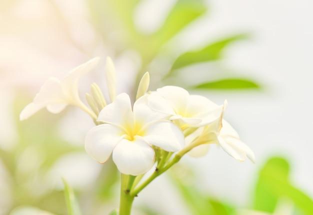 Plumeria ou plante de fleur de frangipanier dans le jardin d'été Photo Premium
