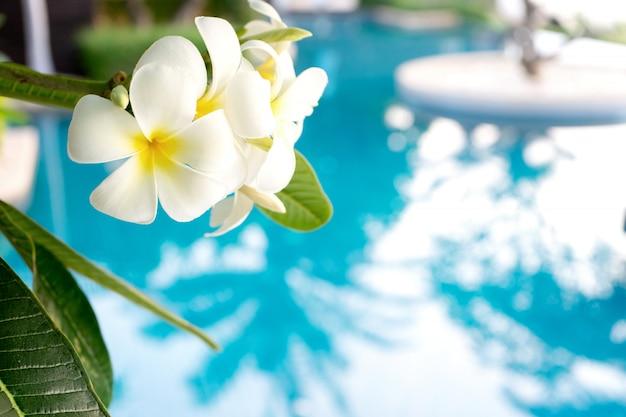 Plumerias fleur sur l'arbre, fond être piscine Photo Premium