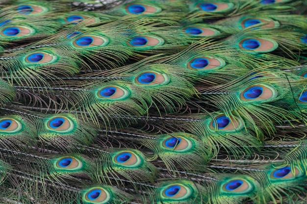 Plumes de paon colorées en arrière-plan ou en toile de fond Photo Premium