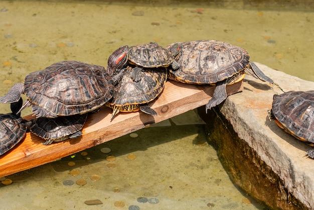 Plusieurs tortues se reposent au sujet de l'eau dans une journée d'été ensoleillée Photo Premium
