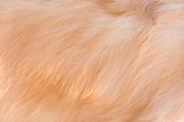 Poil de chien golden retriever Photo Premium