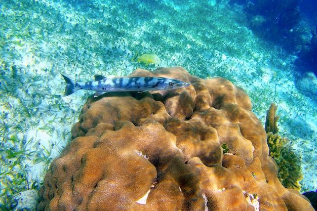 Poisson barracuda sur moulinet de corail sur la riviera maya Photo Premium