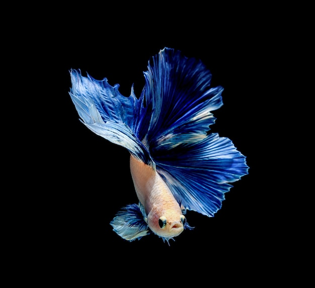 Poisson Betta, Combats Siamois, Betta Splendens Isolés Photo Premium