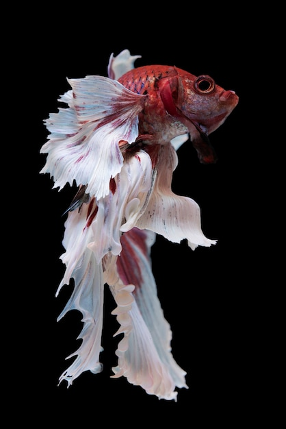Poisson betta halfmoon Photo gratuit