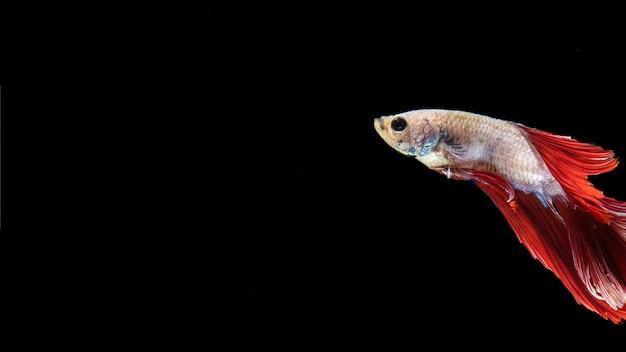 Poisson betta isolé avec queue nageant et espace de copie Photo gratuit