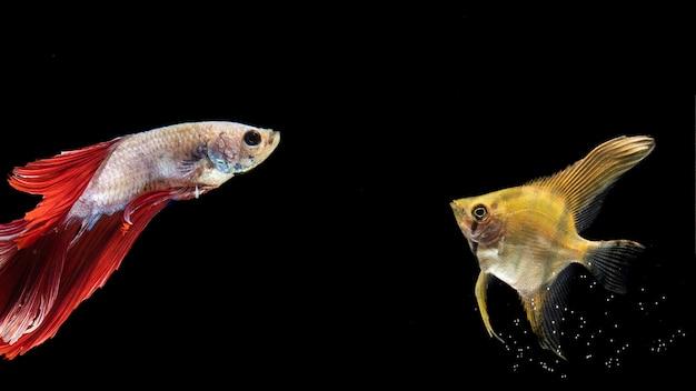 Poisson betta jaune et rouge nageant Photo gratuit