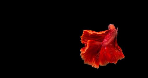 Poisson Betta Rouge, Poisson Combattant Siamois En Mouvement Isolé Sur Fond Noir. Photo Premium