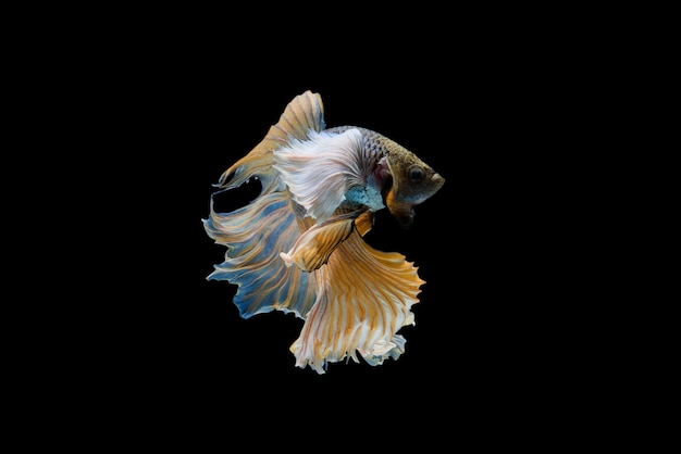 Poisson betta siam Photo gratuit