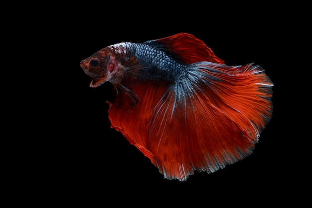Poisson betta Photo gratuit