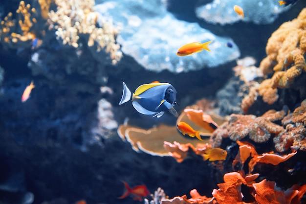 Poisson bleu avec des pierres Photo Premium