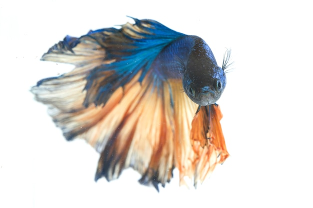 Poisson De Combat Halfmoon Betta Blue Photo Premium