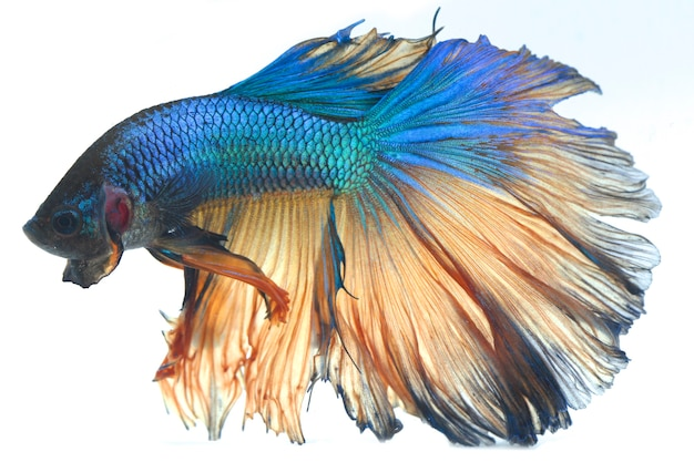 Poisson De Combat Halfmoon Betta Blue Photo Premium