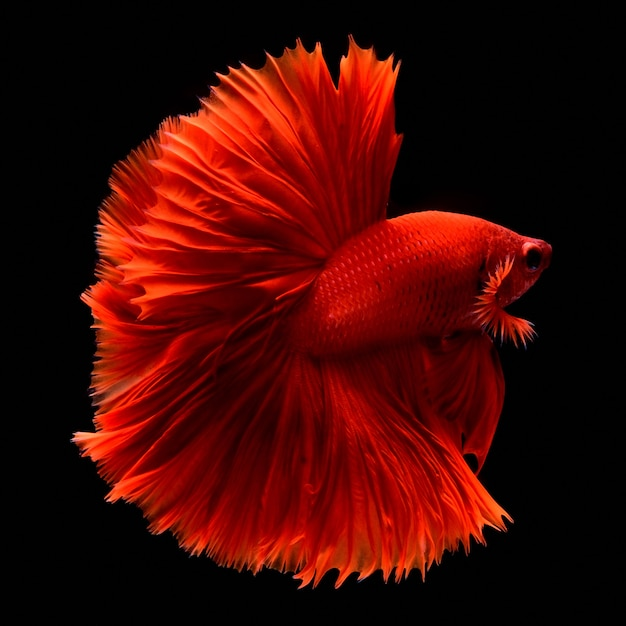 Poisson de combat rouge. Photo Premium