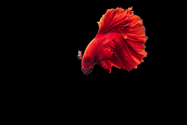 Poisson De Combat Siamois Rouge Photo Premium