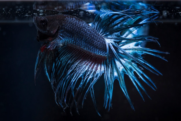 Poisson combattant (betta splendens) poisson avec une belle Photo Premium