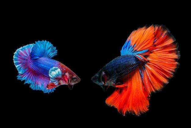 Poisson combattant, poisson betta, poisson combattant siamois isolé sur fond noir. Photo Premium