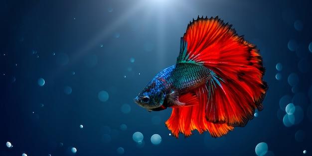 Poisson combattant rouge bleu fond clair avec bokeh Photo Premium