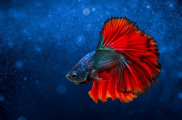 Poisson combattant rouge bleu fond clair avec bokeh t l charger des photos premium - Poisson rouge gratuit ...