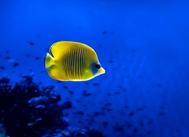 Poisson Jaune Vif Sous L'eau Sur Fond De Corail En Mer Rouge Photo Premium