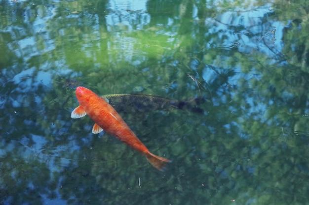 Poisson Koi Orange Photo gratuit