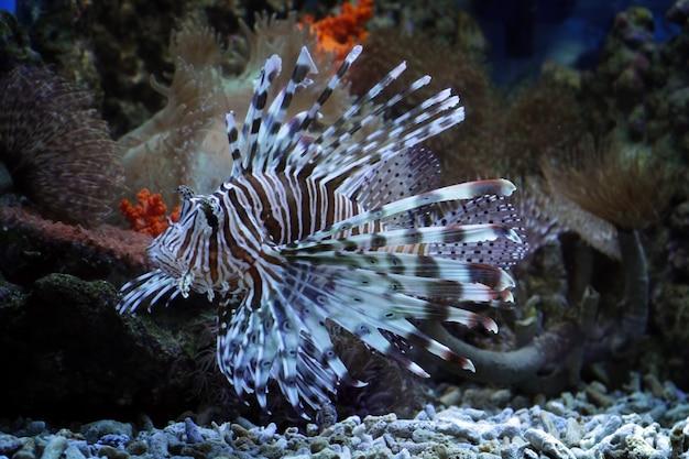 Poisson-lion Sur Les Récifs Coralliens Photo Premium