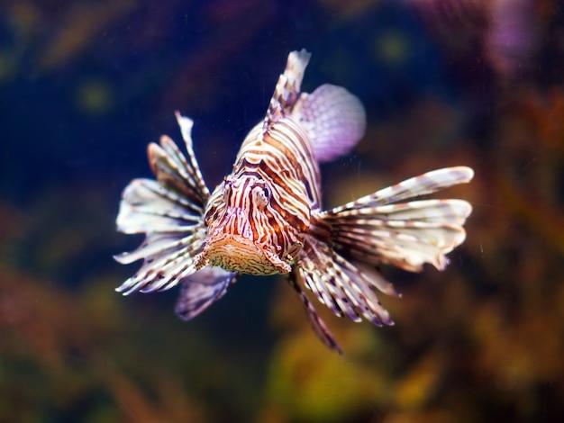 Poisson-lion rouge dans l'eau de mer Photo gratuit