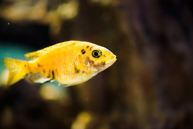 Le poisson msobo magunga de couleur jaune avec des taches noires flotte dans l'aquarium. Photo Premium