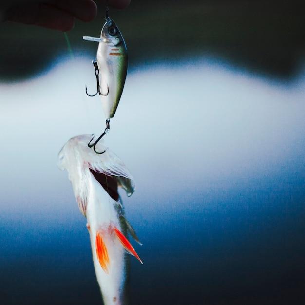 Poisson pêché dans un hameçon Photo gratuit